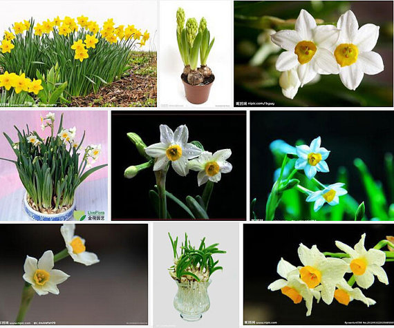 Beautiful Narcissus Flower Balcony Plants Daffodil Se T