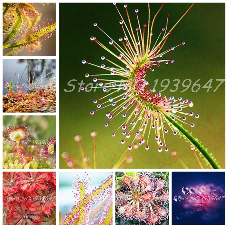 Sale! 100 Pcs/ bag Bonsai Sundew Plants Blue enchantress Carnivorous plant table Pot Drosera peltata Bonsai Radiation Protection(China)