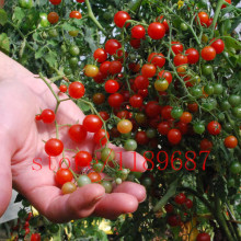 "200 tomato seeds Rare mini Climbing Tomato seeds, ""Cherry Tomatoes – sweet 200"", Mini Tomato Bonsai Plant seeds, Organic Food"