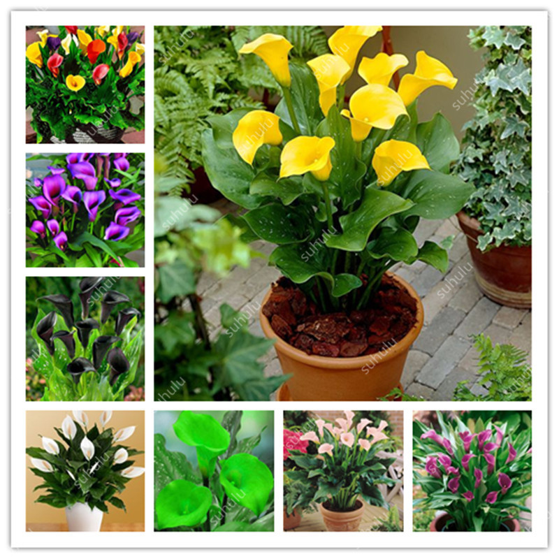 Big Promotion! 200 Pcs Dwarf Calla Bonsai,Calla Lily Flower,Rare Bonsai Flower Plants (Not Calla Bulbs),Natural Growth For Home