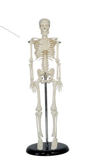 Structural skeleton heart Blood vessels Neurology Human skeleton model Skeleton Human skeleton 45cm Skeleton model-GASENHN-003 цена