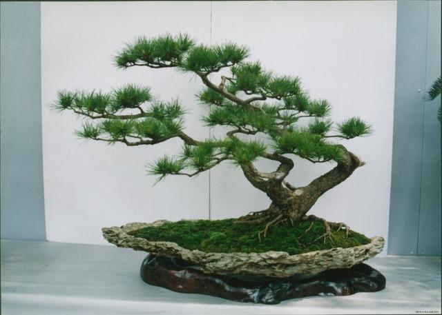 30pcs Pine tree seeds, Pinus thunbergii seeds, bonsai tree seeds for DIY home garden planting