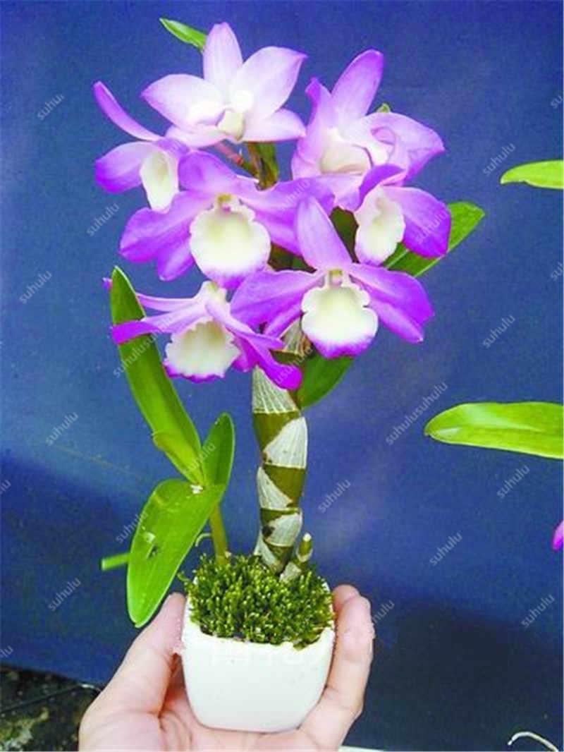 100 Rare pçs/saco color Mix borboleta mini flor da orquídea planta, uma variedade de estilos de flor bonsai flores. DIY para Home & garden