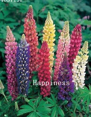 200 sztuk/worek kolorowe Rainbow koniczyna inkarnatka Bonsai rośliny Russell Lupinus piękno ozdobne kwiaty na DIY do przydomowego ogrodu (łk bing hua)