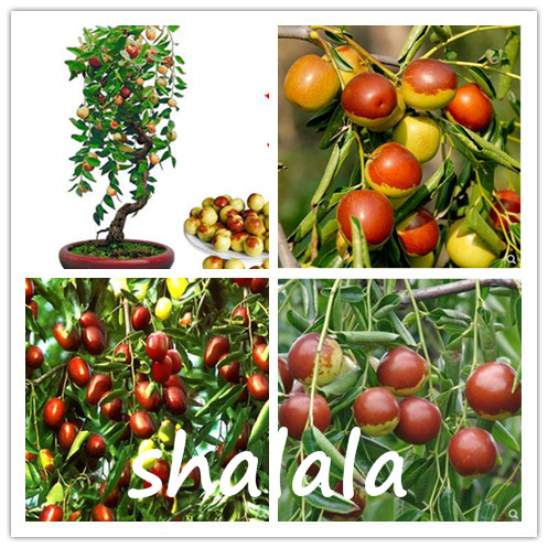 Top 10 Largest Jujube Fruit List And Get Free Shipping 57938k6b