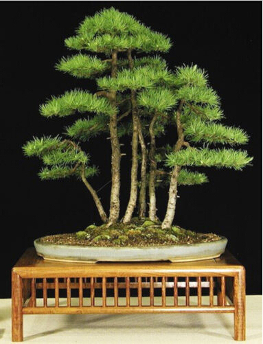 office bonsai. 20 seeds bag juniper bonsai tree potted flowers office purify the air e