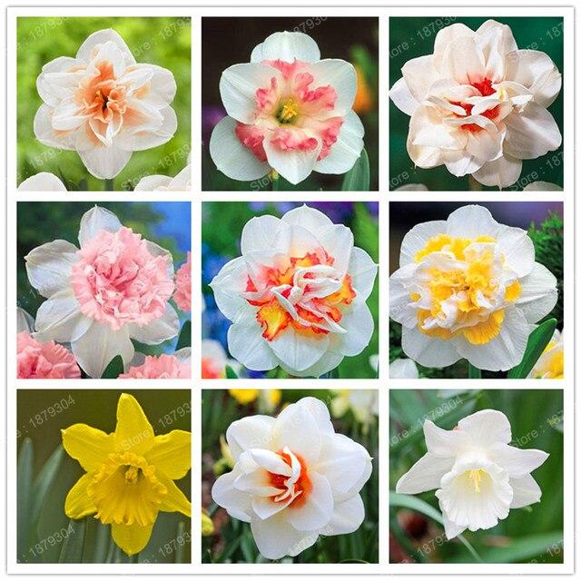 200 pcs color narcisse fleur jonquille graines absorption rayonnement narcisse tazetta graines bonsa fleur plante pour - Fleur Jonquille