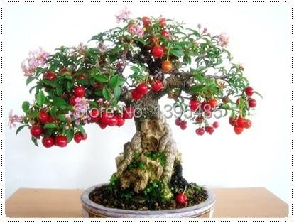 эухарисцветок в горшке комнатное растение бесплатная доставка