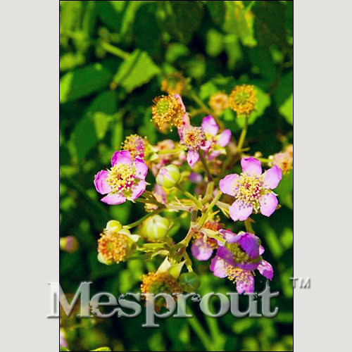 100PCS Mountain Tumi Flowers Seeds -DIY Home Garden Pot