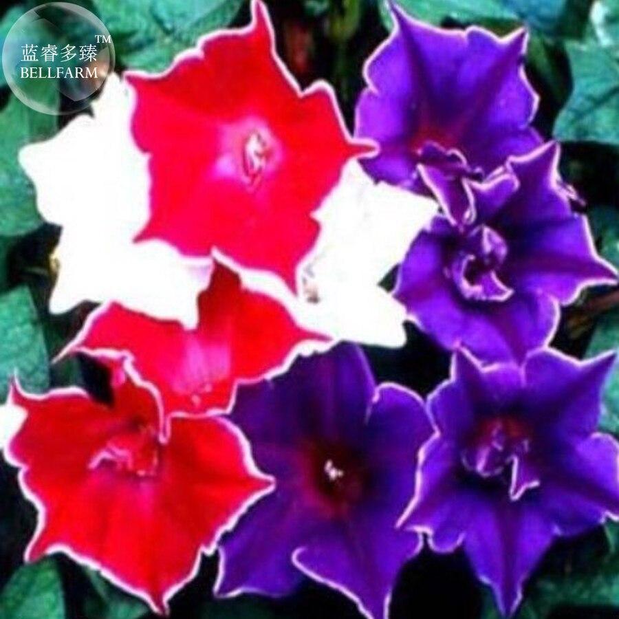 Bellfarm Bonsai Mixed Kikyo Zaki Morning Glory Red Purple White Pink