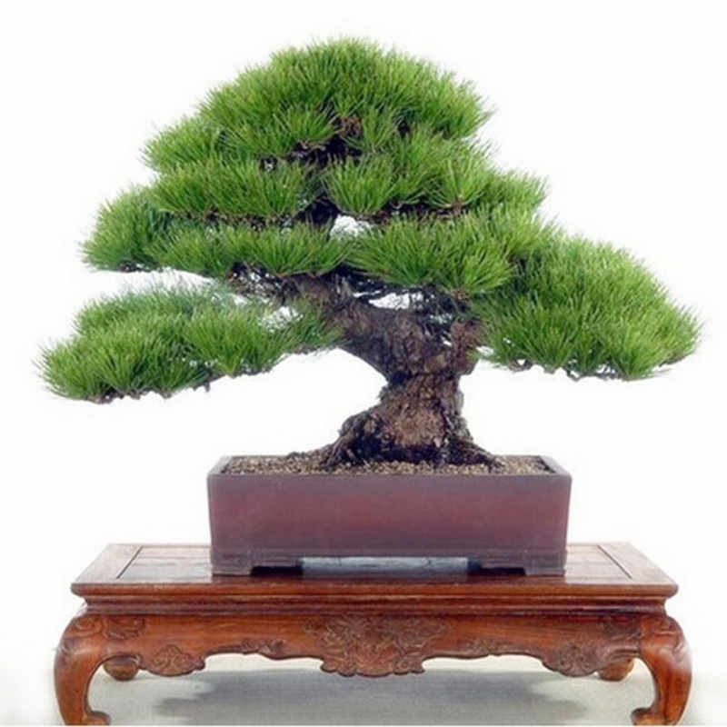 Pine Tree bonsai, Potted bonsai Pinus Landscape bonsai For Home&Garden,Teach you how to grow 20pcs/pack