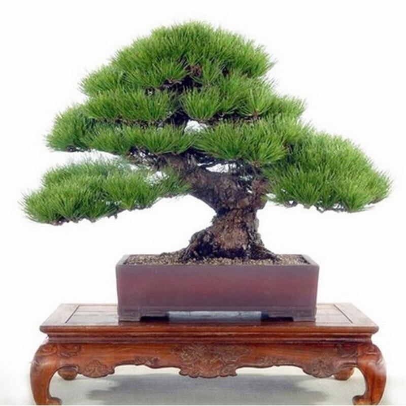 Сосна дерево бонсай, искусственный бонсаи Pinus бонсай для пейзажа для дома и сада, научить вас выращивать 20 шт./упак.