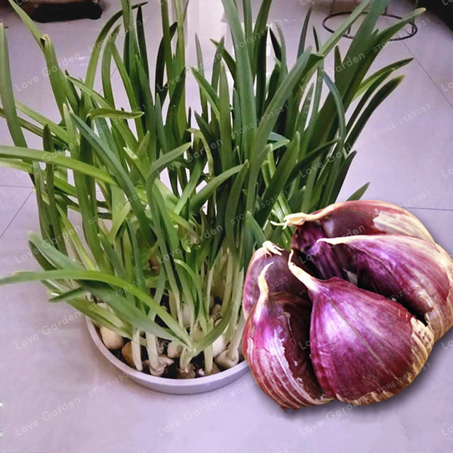 100 piezas-pétalos ajo Bonsai de Bonsai rojo saludable vegetal verde Bonsai para la cocina condimento de comida a casa jardín