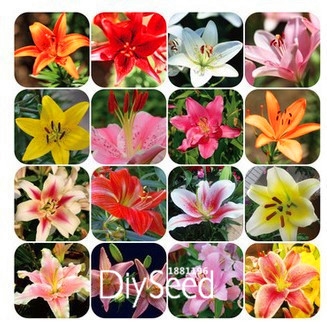 New Seeds 2015!lily flower seeds plants potted perfume