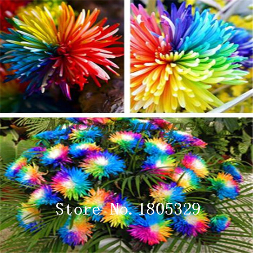 Free Shipping 100pcs/bag Rainbow Chrysanthemum seeds Flower Seeds Rare Flower DIY Home Garden Flower
