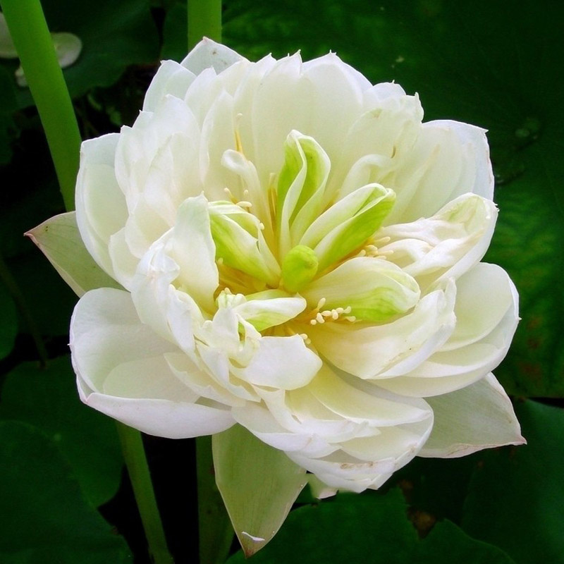 1 seeds / pack, 'Fickle in Love' White Lotus Water Lily