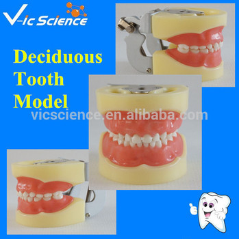 Manufacture Standard Child Deciduous Tooth Model