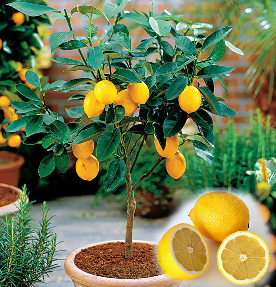 10PCS/BAG Edible Fruit Meyer Lemon Seeds, Exotic Citrus Bonsai Lemon Tree Fresh Seeds