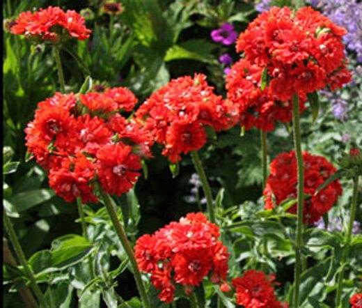 Цветок мальтийский крест фото