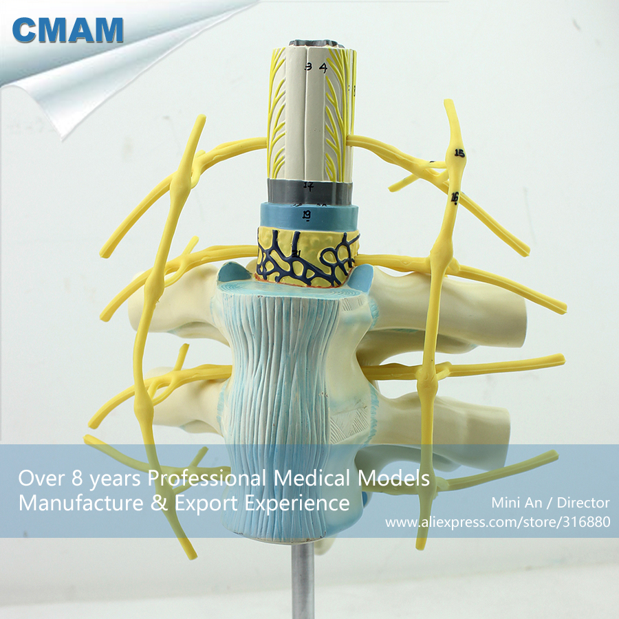 12389 CMAM-VERTEBRA06 Plastic Human Thoracic Spinal Cord Spinal Nerve Model, Medical Science Educational Anatomical Models cmam muscle16 deep anatomical structure model of human neck medical science educational teaching anatomical models