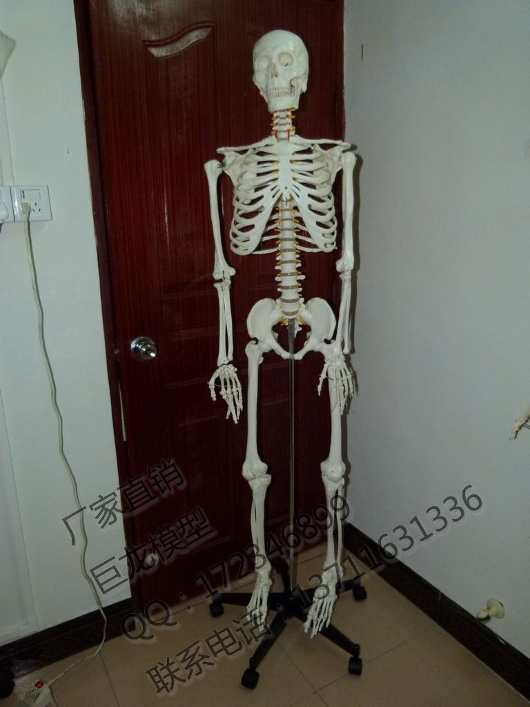 Standard 170cm Human Skeleton High Quality Body Model Big Skull Skeleton