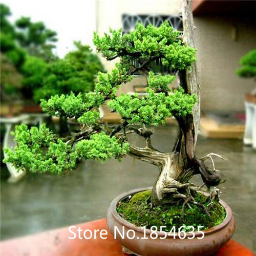 popular ginseng ficus bonsai buy cheap ginseng ficus. Black Bedroom Furniture Sets. Home Design Ideas