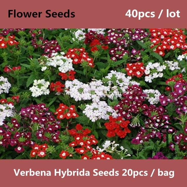 Utilisés Comme Plantes Ornementales Verveine Hybrida ^ ^ ^ ^ 40 pcs ...
