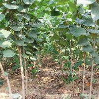 giant Bauhinia authentic full article red plant germination rate Four Seasons No.1 real photos 200g / Pack tree bonsai