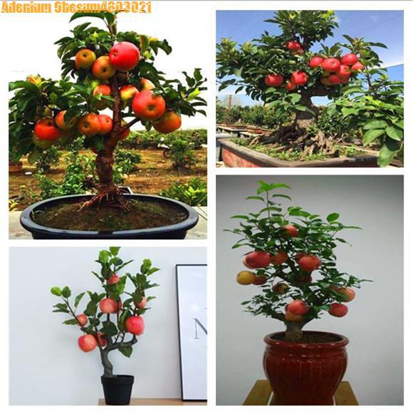 200 шт. Райское яблоко карликовые деревья миниатюрный яблоня сладкий органические фрукты и овощи карликовое дерево в горшке или открытый для...