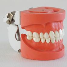 1pc dental teaching teeth models dental study teeth models 28pcs teeth hard gum FE jaw frame