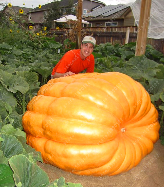 20Pcs giant pumpkin seeds halloween pumpkin organic seeds Vegetables Nutrient-rich food NON-GMO Edible plants for home garden