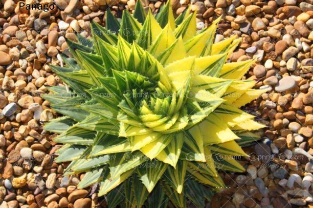 Fibonacci Succulent Seeds (500 Pieces)