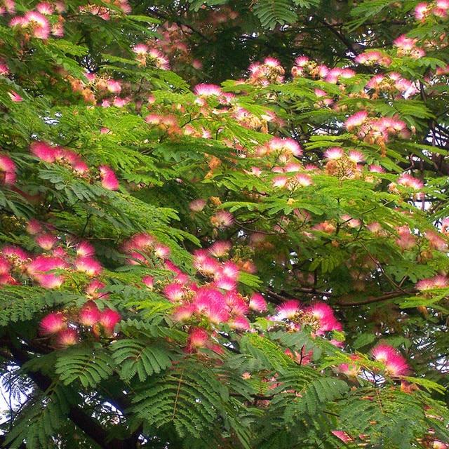 Potted Plant Tree Seeds Authentic Acacia Safflower Seeds Bonsai Home U0026  Garden 50g / Bag