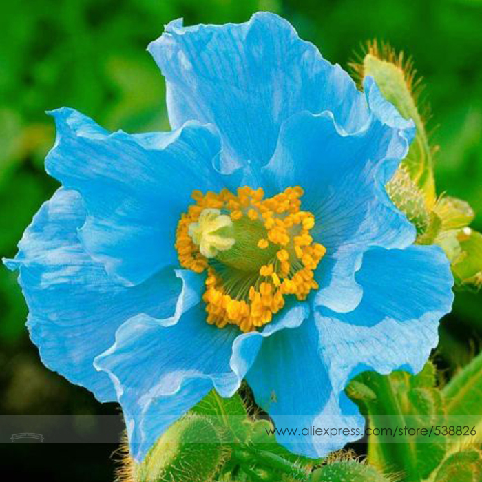Rare Blue Himalayan Poppy Seeds, Professional Pack, 100