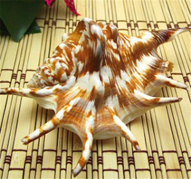 2pcs 8-12cm Rare Natural Conch Sea Shell Elephant's-foot Moon Shell Creative Fashion Home Decoration Nautical Wedding Crafts
