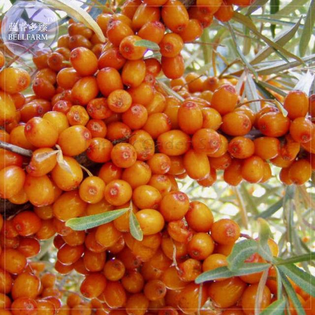 Buckthorn Shrub Seeds,  Sandthorn Swallow Thorn Small Tree