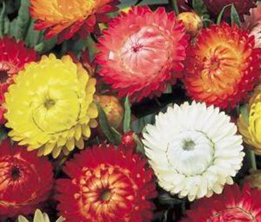 100 strawflower paper daisy helichrysum monstrosum bulk flower seeds 100 strawflower paper daisy helichrysum monstrosum bulk flower seeds mightylinksfo