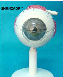 SHUNZAOR 11*11*12cm 250g with 6 parts 3 times Eye Anatomy Model eye structure model Teaching Experimental Model - Category 🛒 Office & School Supplies