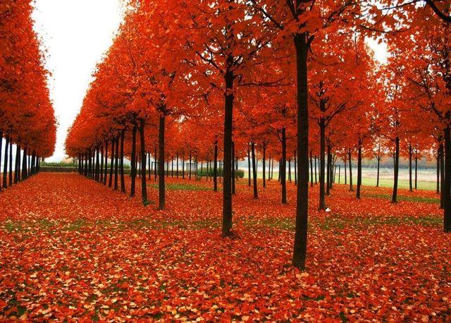 20pcs American Red Maple Tree Acer Rubrum Seeds