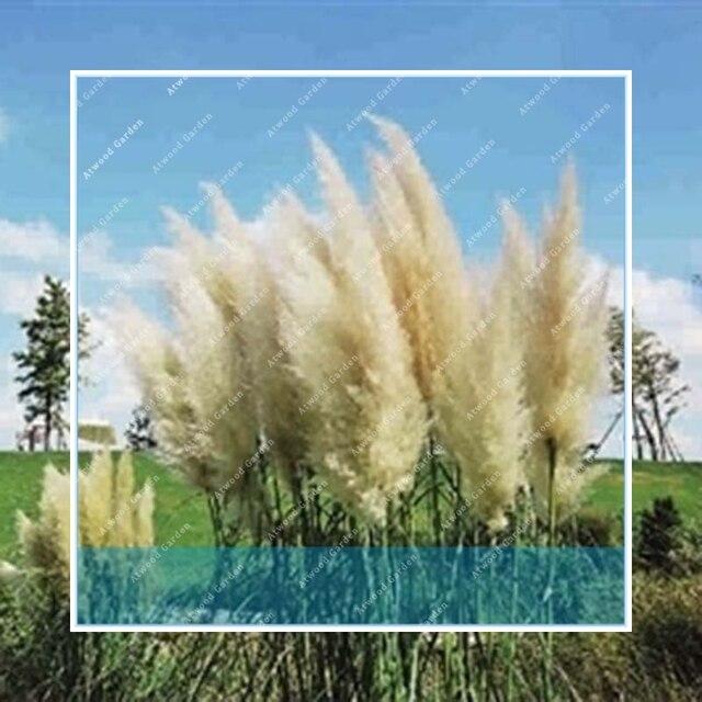 ZLKING الأبيض 1000 قطع نادر بمب Garss بمب بمب العشب النبات نباتات الزينة الزهور Cortaderia Selloana العشب
