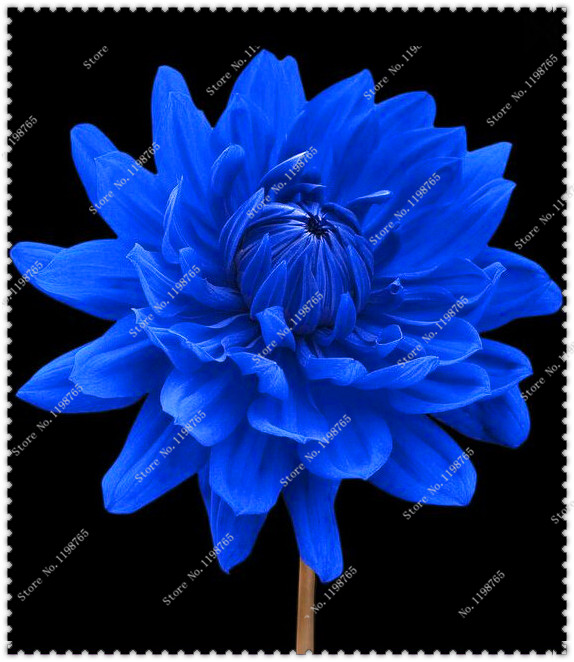 Hot Sale 200pcs/bag Unique Blue Fireball Dahlia Seeds Beautiful Flower Seeds,bonsai plant home garden