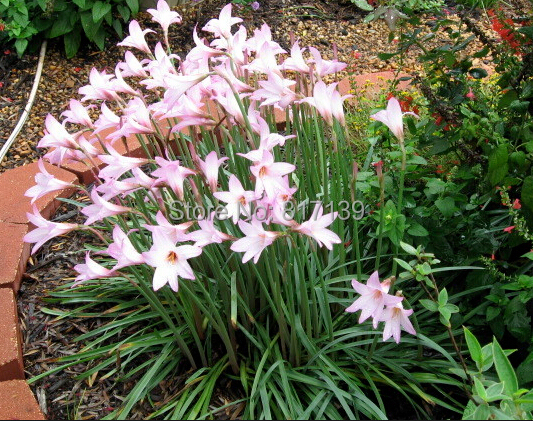 Diy Home Garden Plant 10 Seeds Zephyranthes Rosea Pink Rain Lily Rainlily Cuban Zephyr Flower Free Shipping In Bonsai From On