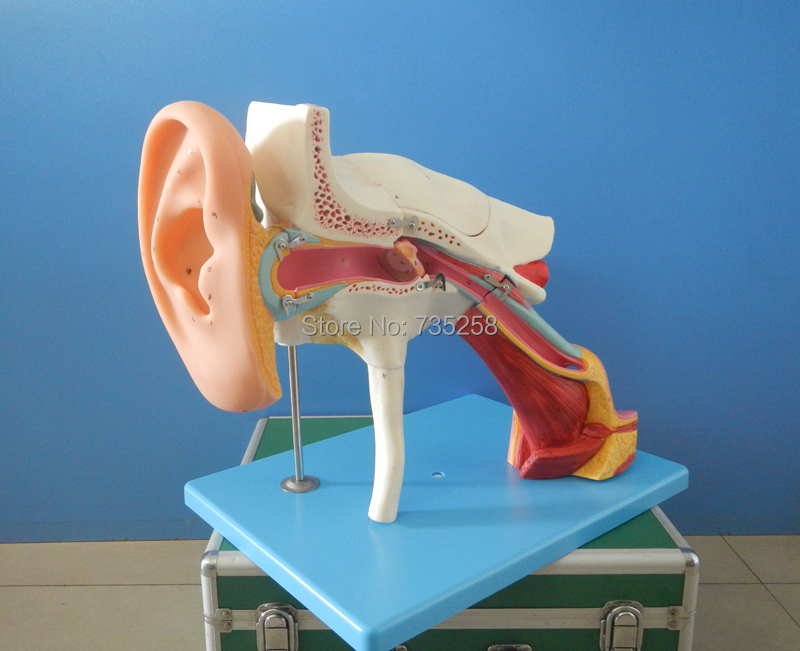 Enlarged Ear,Ear Structure Model, Ear Bone Model,Ear Amplification Model amplified alar bone sphenoid bone amplification model