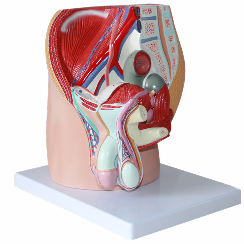 HeyModel Female pelvic median sagittal section model male reproductive system male genitourinary anatomy model male genital organs male genitalia anatomical model structure male reproductive organs decomposition model