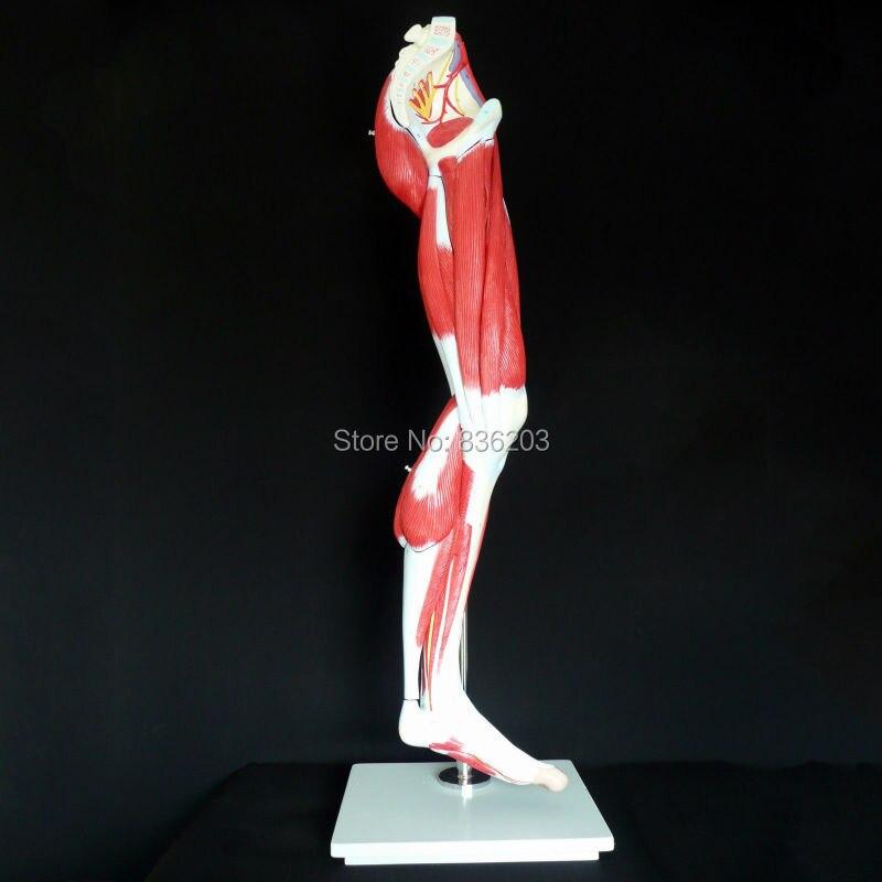 Anatomía Humana esqueleto muscular pierna modelo sistema muscular ...