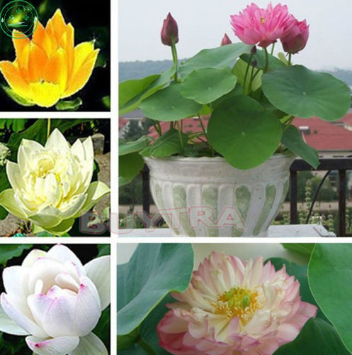 Online buy wholesale aquatic plant pots from china aquatic for Cheap pond plants