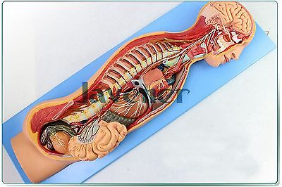 Human Anatomical Sympathetic Nervous System Anatomy Medical Model