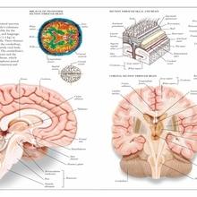 Cartel de enciclopedia de Anatomía Humana Vintage, cuadros de lienzo clásicos del cerebro, pósteres de pared Vintage, pegatinas para decoración del hogar, regalo
