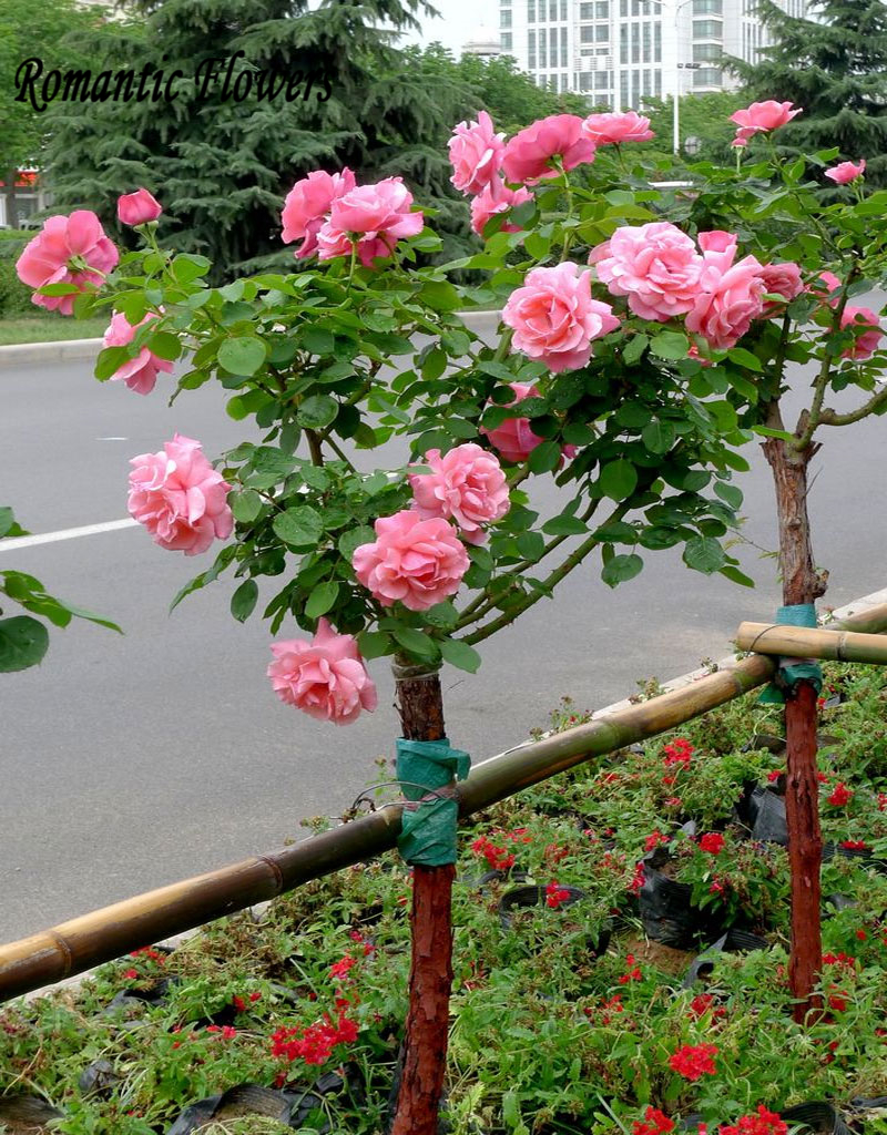 online get cheap pink rose tree -aliexpress | alibaba group