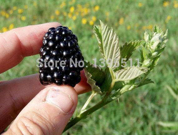 Blackberry Seeds Sweet  Triple Crown  Mulberry Fruit Seeds